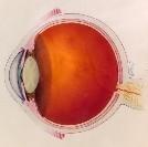 eyeanatomysmall